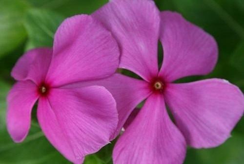 70 Sementes Da Flor Boa Noite Vinca Anã Sortida