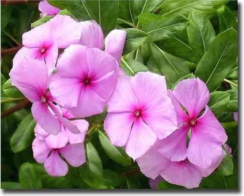 Boa Noite De Flores: 70 Sementes Da Flor Boa Noite Vinca Anã Sortida