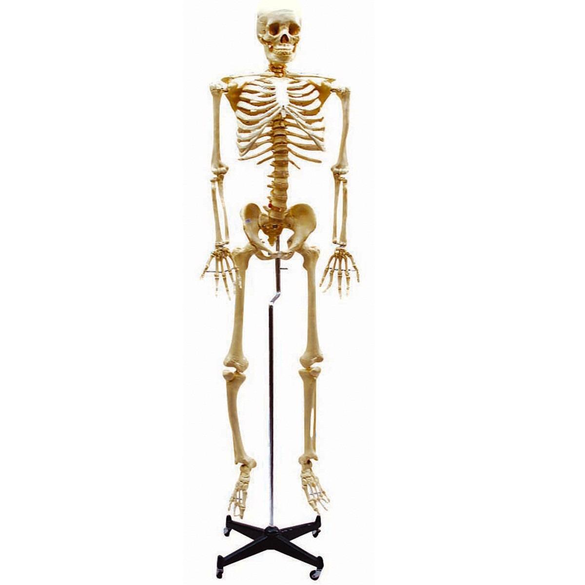 7014 - Esqueleto Humano - Pedagógico Ciências - R$ 1.174,80 em ...