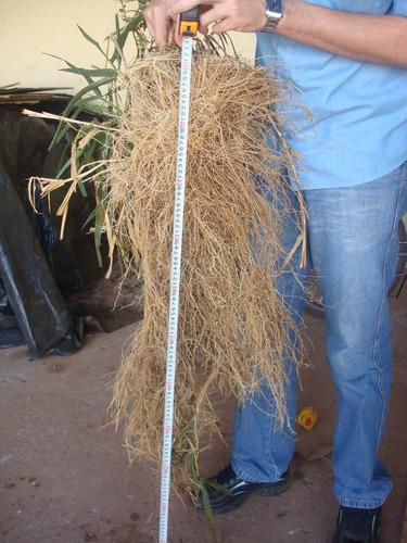 8 kg. pasto mulato ii hibrido de semillas papalotla