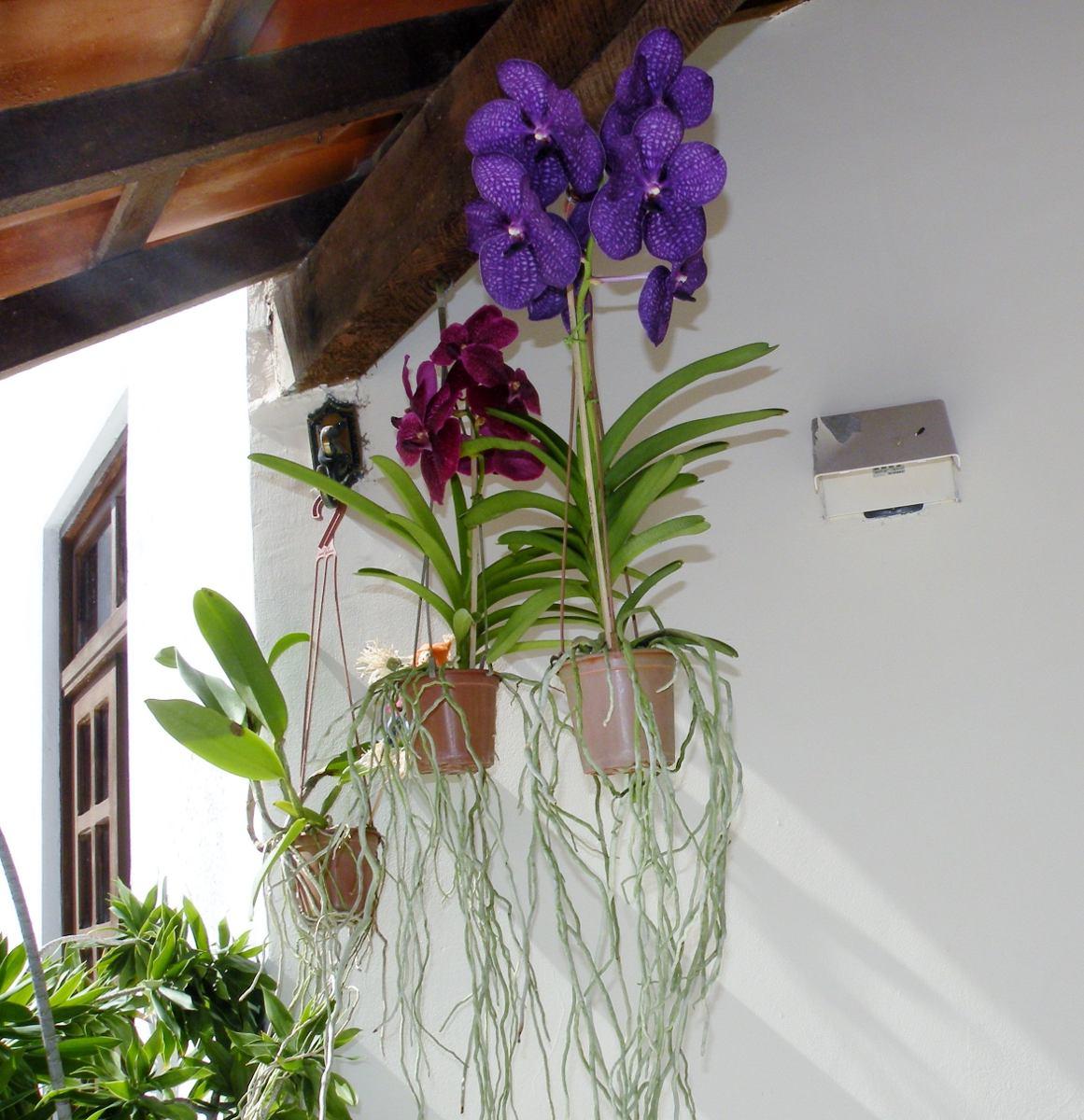 9 orquídeas vanda , a orquídea gigante