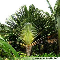 9 semillas de ravenala madagascariensis - arbol viajero 1327
