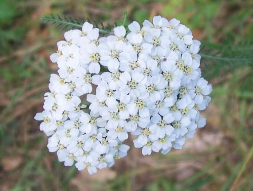 90 sementes de achillea mil folhas millefolium flor  erva