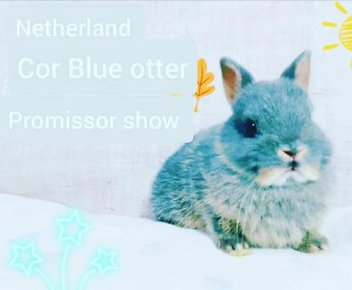 Coelho Netherland Reprodutor Show Azul