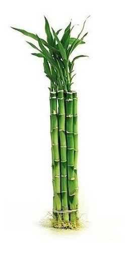 Planta Bambu X 12 Unds.