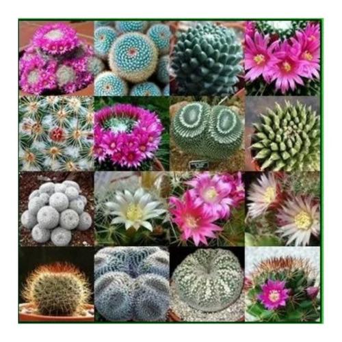 Mix De Semillas De Cactus Mammillaria Especies Variadas