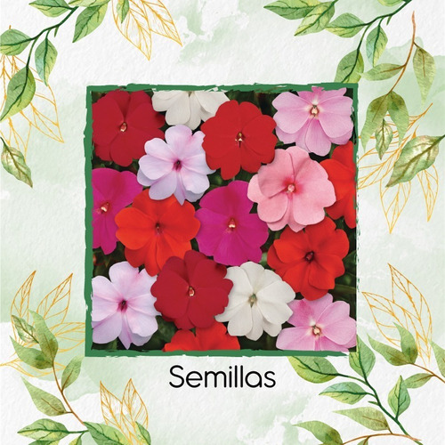 25 Semillas Flor Alegria De La Casa + Obsequio Germinación