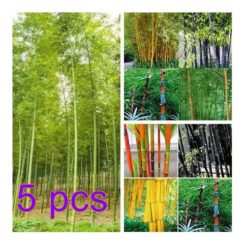 Semillas De Bambú Verde 5pack(500pzs)