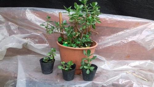 Arbol De Jade Atrae La Prosperidad A Tu Hogar .bonsai