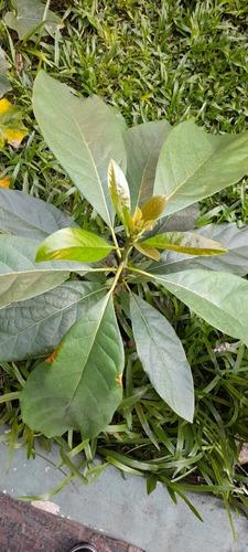Plantin Palta Organica
