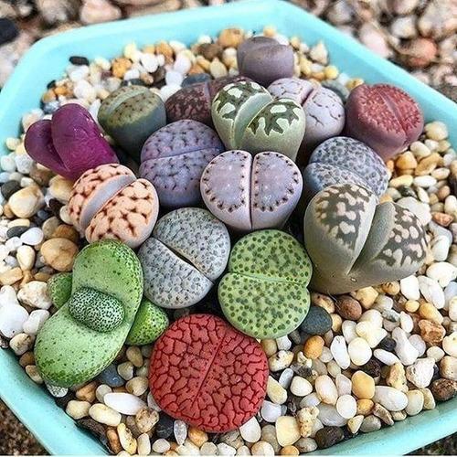30 Sementes Legítimas Lithops Mix Pedras Vivas Suculenta