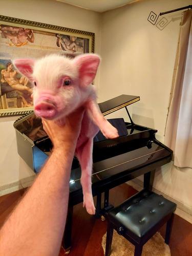 Mini Pig Micro Porco Mini Porco  Fêmea Sp Capital