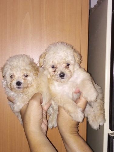 Poodles Minitoys