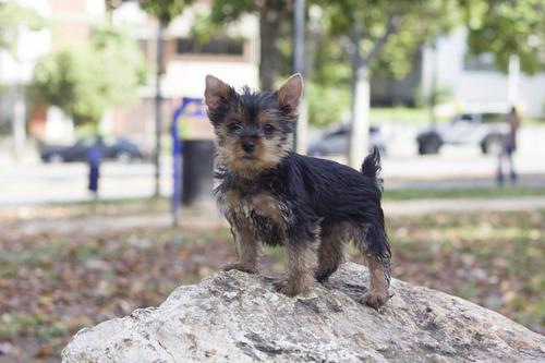 Yorkshire Terrier Miniatura Hembra
