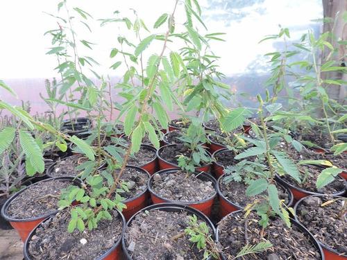 Mimosa Pudica Planta Sensitiva Curiosidad Hermosas