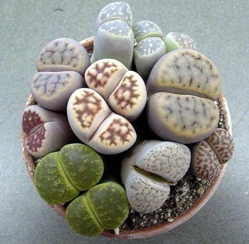 Semillas Planta Piedra, Lithops 50 Semillas