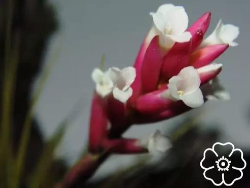 Tillandsia Tenuifolia Bromélia Adulta