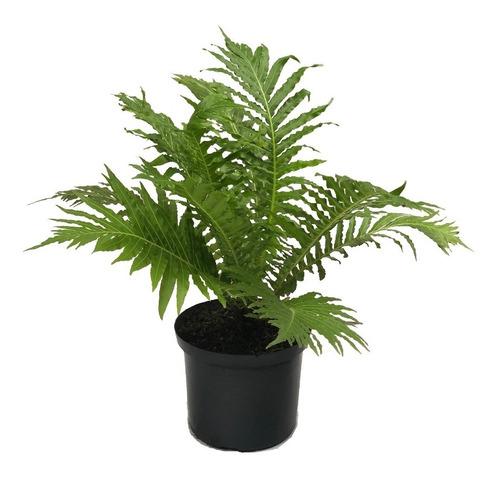 Helecho Verde Californicum, Planta Interior, Espectacular
