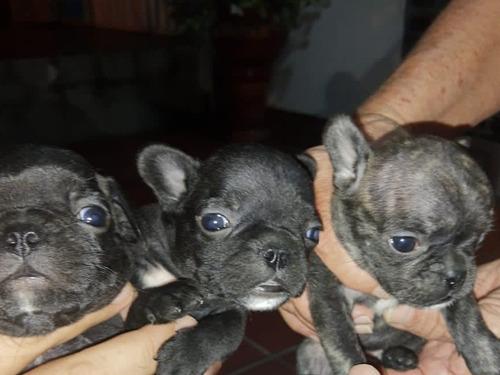 Bulldogs Francés Machos