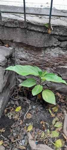 5 Plantines Maracuya Organico