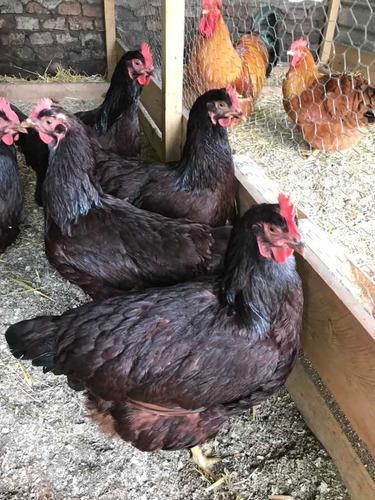 Huevos Fértiles De Rhode Island Red