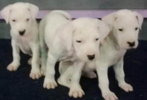 Dogo Argentino Cachorros De Excelente Linea De Sangre
