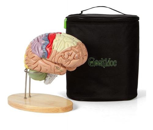 Modelo De Cerebro Humano (numerado) Con Estuche De Modelo De