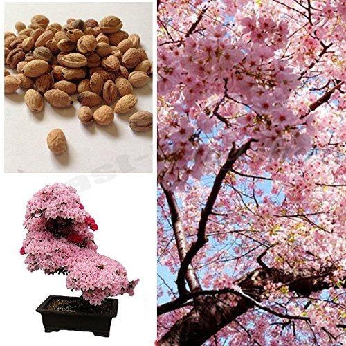 Semillas Cerezo Japonés + Guayacanes Amarillo, Rosa, Morado