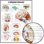 Poster Anatomia Cérebro 65x100cm Enfeite Para Sala Clinica