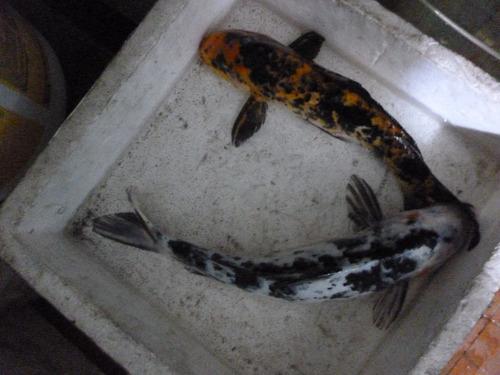 Carpas Naranjas Con Manchadas, Negras Y Blancas  5cm