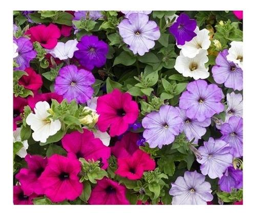 900 Sementes Petunia Anã  Sortida Para Mudas Vasos Jardim