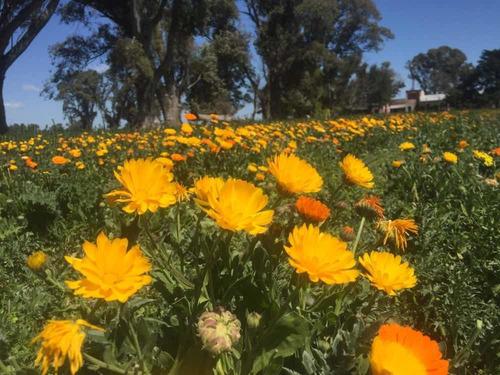 Flores De Caléndula Secas. Cultivo Agroecologico. Excelente!