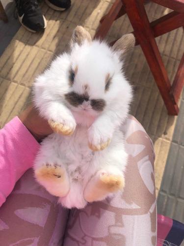 Conejos Holland Lop 3 Puros 1 Mes Se Entregan A Los 45 Días