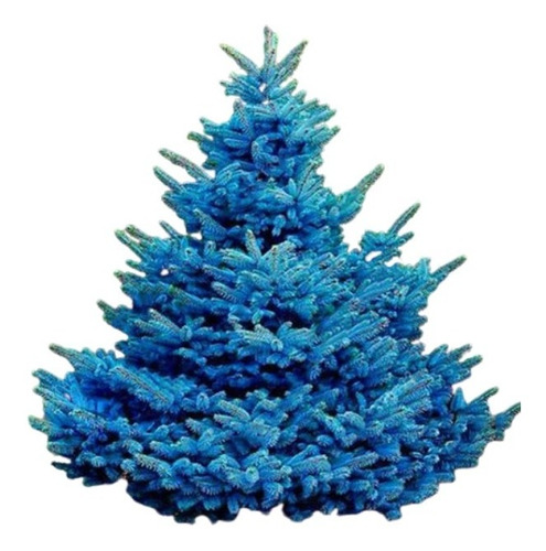 Pack 10 Semillas Picea Azul De Colorado