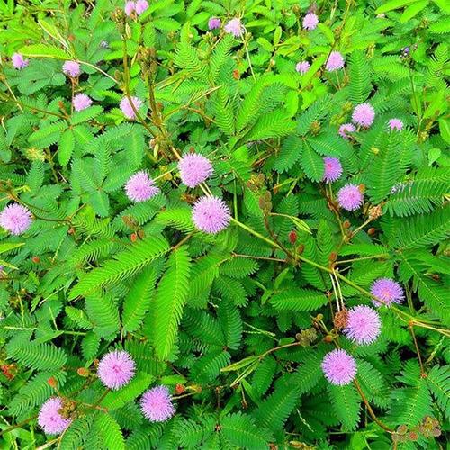 Semillas Mimosa Pudica