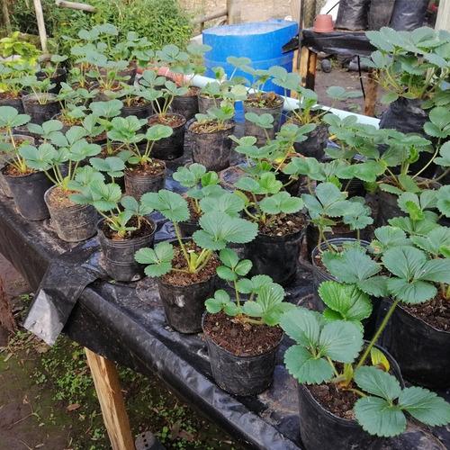 Plantines De Frutilla Huerta Organica
