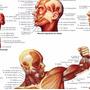Poster Mapa Anatomia Muscular Hd 65x100cm Enfeite Para Sala