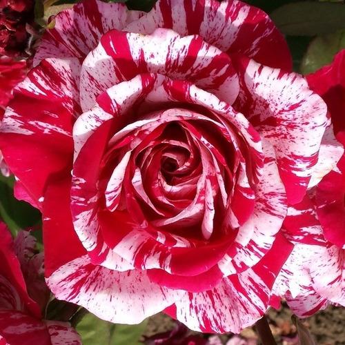 Rosa Rara Bicolor (muda)