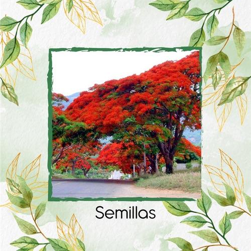 5 Semillas De Árbol Acacia Roja