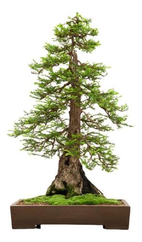 Pack 10 Semillas De Secuoya Roja - Sequoia Sempervirens
