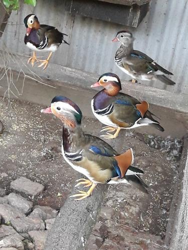 Ave Pato Mandarin Macho Precio Por Unidad   Consulte