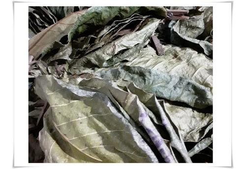 10 Folhas De Amendoeira - ( Terminalia Catappa )