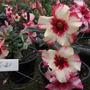 20 Sementes De Rosa Do Deserto Dobradas Multipetalas