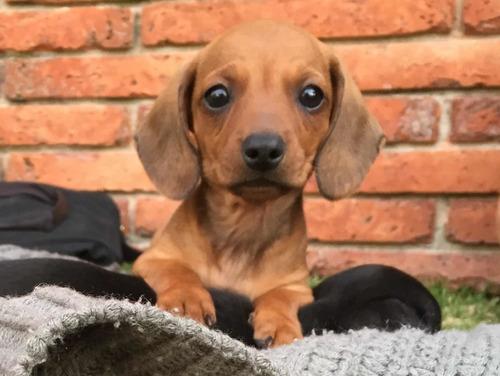 Lindos Perritos Salchicha Dachshund Miniatura