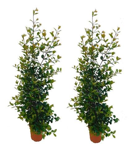 Plantulas De Eugenia Para Jardines Y Cercas Vivas 20 Cm.