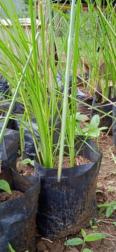 Vetiver Plantas Control Erosion, Contaminacion, Deslave, Etc