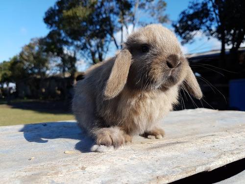 Hermosos Conejos Enanos Holland Lop