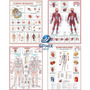 Kit 4 Mapa Corpo Humano Muscular Circulatório Esqueletico I