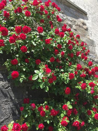 Rosal Trepador Recoco Rojo
