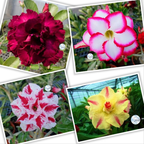 Semente De Rosa Do Deserto Mix Cores - 10 Sementes Adenium